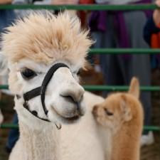 special-alpacas